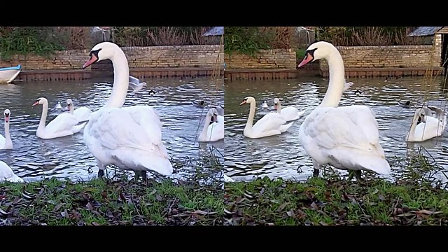 Swan on the bank - 3d movie clip - crossview
