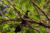 Black Guan - (Chamaepetes unicolor) by fogartyf