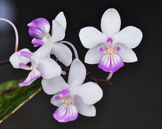 Phal. lindenii