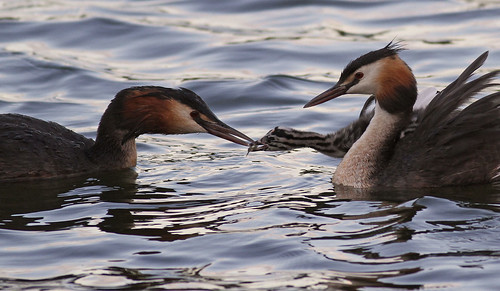 2010 07 14_Great Crested Grebes | by Jonnersace