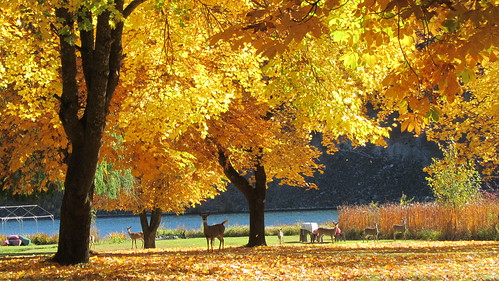 autumn trees fall 20d nature leaves yellow canon october deer whitetail chainlakes marilynhassler omadarlingphotography