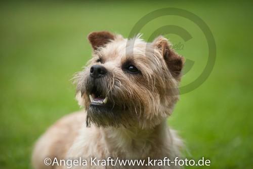 Angela Kraft 15062012 Cairn Terrier 9   by Angela Kraft