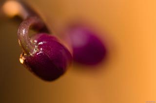 Orchidées naissantes | by Alexandre LAVIGNE