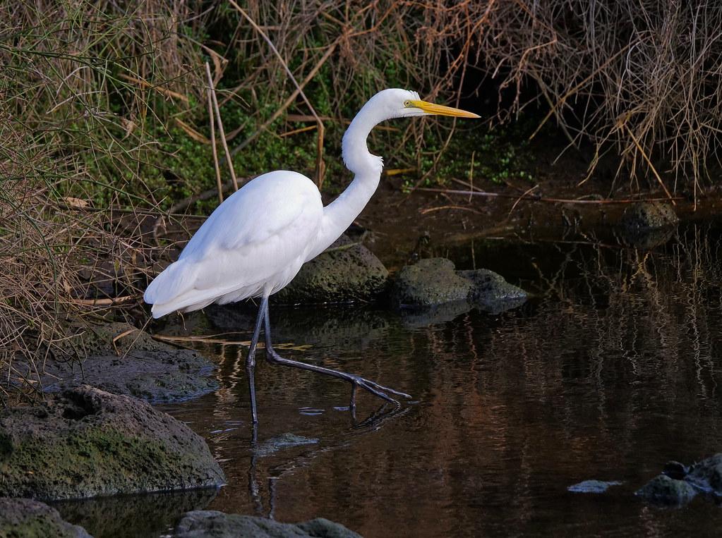 Great Egret On Prowl >> Eastern Great Egret Ardeidae Ardea Alba Modesta James Preece