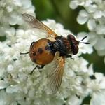 Rundliche Wanzenfliege (Gymnosoma rotundatum)