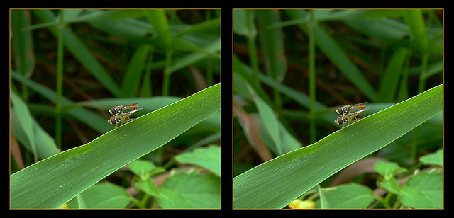 Hoverfly Hanky Panky 2 - Parallel 3D