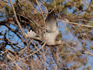 Eurasian-Collared-Dove-2 | by Web Multimedia Developer