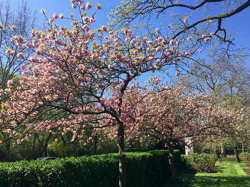 Regent's Park cherry blossom 2018 | by Fran Pickering