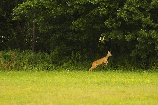 Running roe deer (Capreolus capreolus)