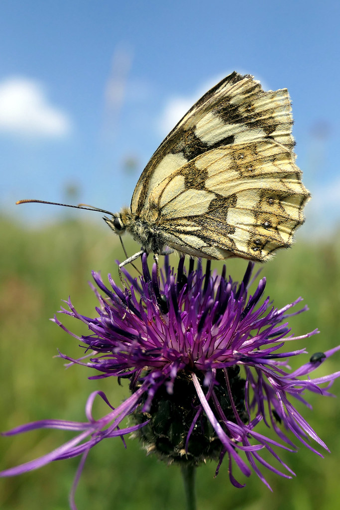 Female Marble White Butterfly