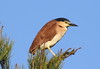 Rufous Night-Heron  Nycticorax caledonicus by Neil Cheshire