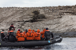 Colony of Gentoo Penguins Spotted as We Cruise in Zodiacs at Grand Jason Island, Falkland Islands | by ppoggio2
