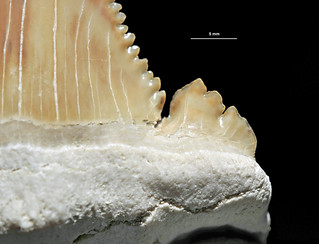Paleocarcharodon orientalis Sinzow, 1899 - lateral cusp