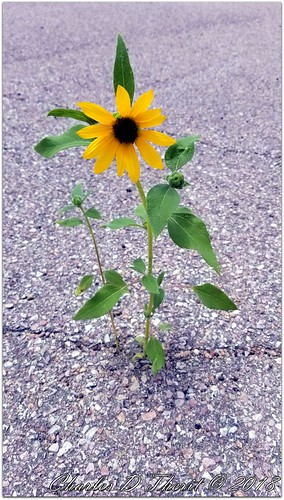 sunflower pavement isolation weed flower grass usa north america explore esplora nature yellow green gray brown explored photo image digital renown pretty samsung galaxy s8 cell phone backlight blacktop crack cracked