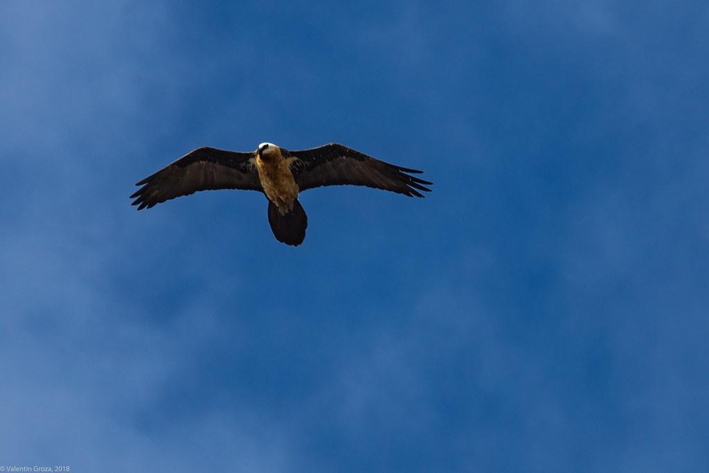 Vultur barbos_02_Tanzania 3 iul18