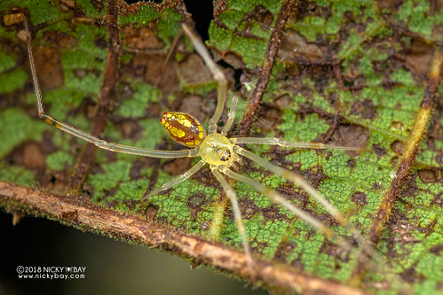Mirror spider (Thwaitesia sp.) - DSC_6851 | by nickybay