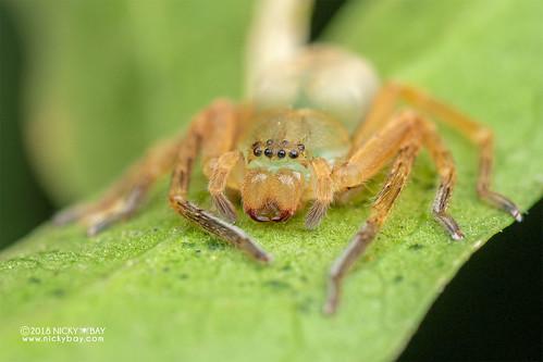 Huntsman spider (cf. Eusparassus sp.) - DSC_6661 | by nickybay