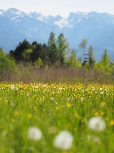 Blumenwiese Frühling Bayern Oberbayern - Wild Flower Meadow Upper Bavaria Germany