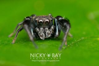 Jumping Spider (Harmochirus brachiatus) - DSC_7293