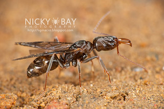 Trap Jaw Ant - DSC_6258