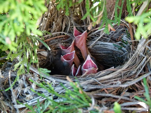 Common Grackle chicks in nest | by praja38