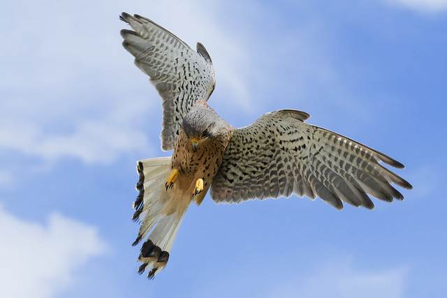 Kestrel with his eye on the target