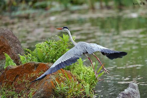 Heron in flight   by Ken Goh thanks for 3 Million views