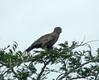 Brown Snake-Eagle (Circaetus cinereus)  by Francisco Piedrahita