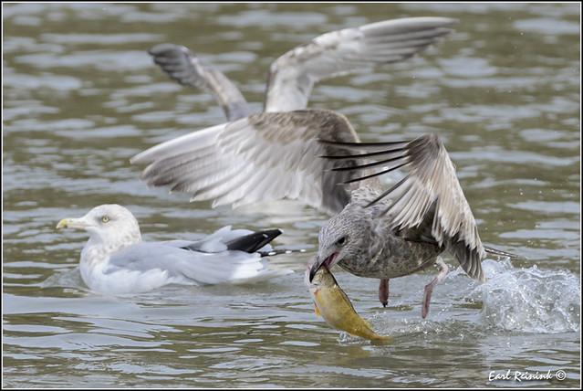 Herring Gull (20121014-0065)