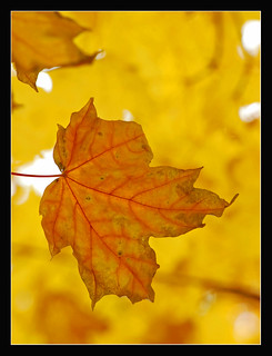 Autumn Leaf for Bokeh Wednesday
