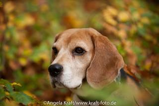 Angela Kraft26102012 Beagle 1 | by Angela Kraft