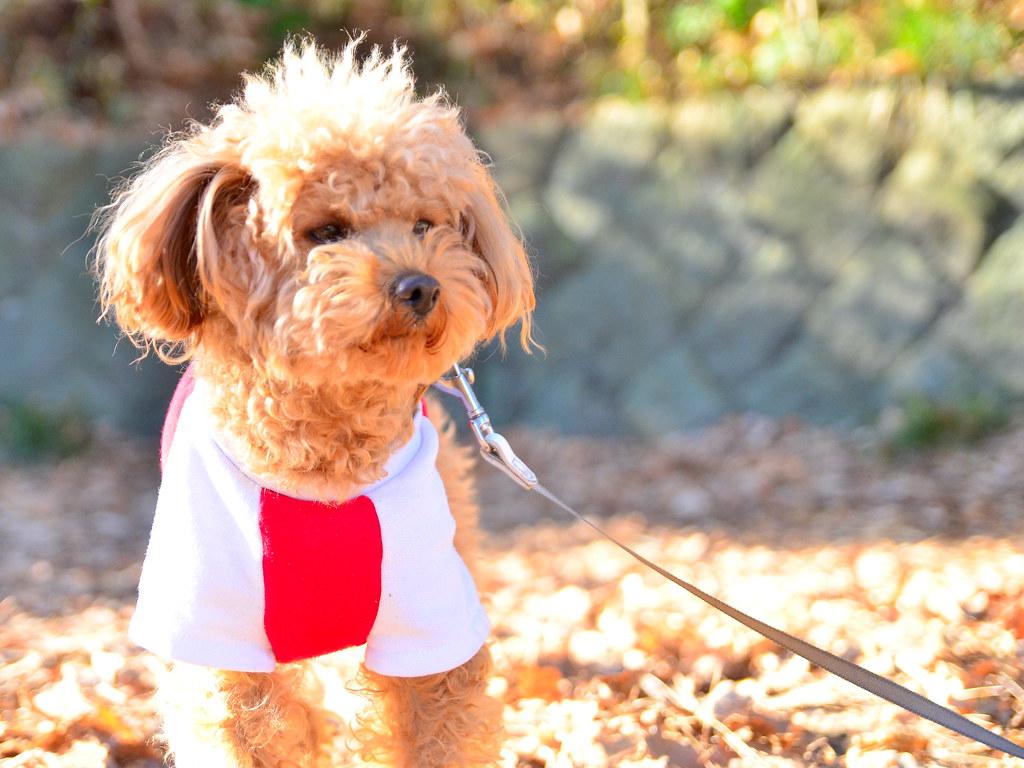 かわいい トイ プードル Cute Toy Poodle この犬の名前は コロ