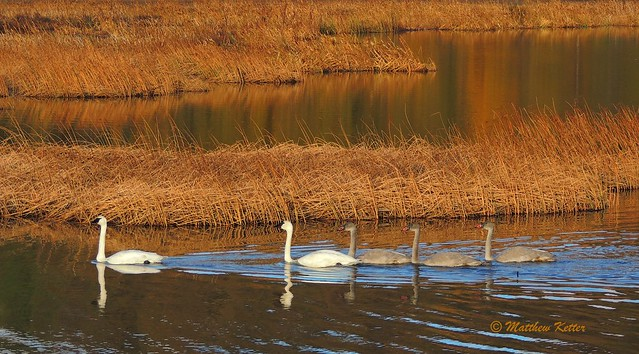 Trumpeter Swans with Young ~ Potter Marsh, Anchorage Alaska