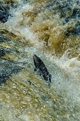 Salmon Leape