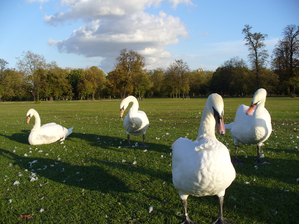 swans - hyde park