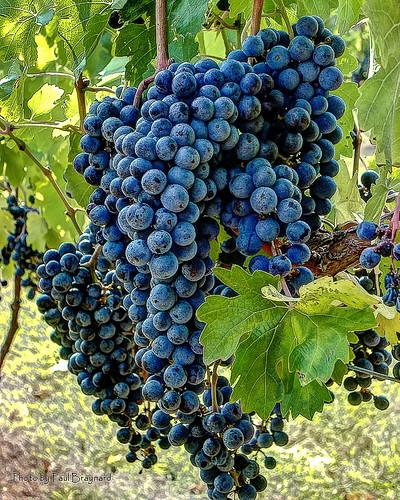 vineyard grapes 1001nights cabernetsauvignon 1001nightsmagiccity paulbraynard
