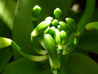 011.Vanille plant in Réunion | by Nije-Faam.nl