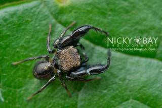 Jumping Spider (Harmochirus brachiatus) - DSC_7298