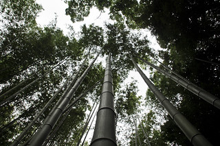 Bamboo forest | by jose.jhg