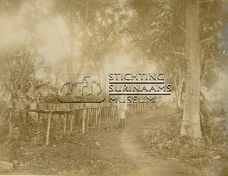 Kweek van cacaoplantjes | by Stichting Surinaams Museum