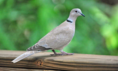 Eurasian Collared Dove (Streptopelia decaocto) | by warriorwoman531