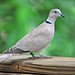 Eurasian Collared-Dove - Photo (c) Heather Paul, some rights reserved (CC BY-ND)