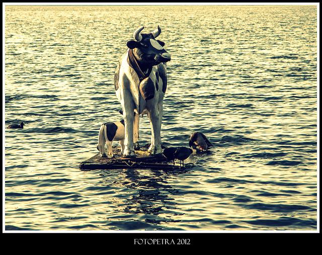 Kühe können übers Wasser gehen.
