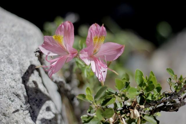 Flor de la montaña