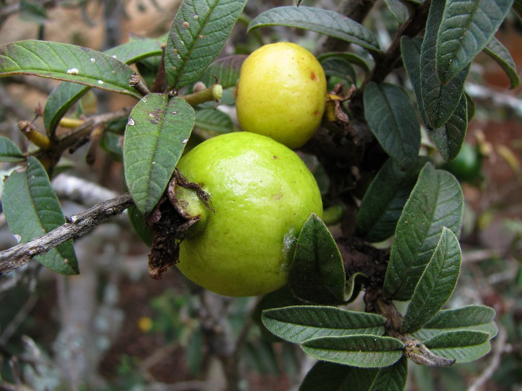 Psidium guajava 'Nana' | Dwarf guava Myrtaceae (Myrtle famil