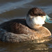 Flickr photo 'Ruddy Duck - (m)' by: Aaron Maizlish.