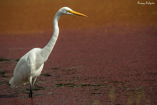 Great Egret - Ardea alba | by CORAVES COLOMBIA PHOTOEXPEDITIONS