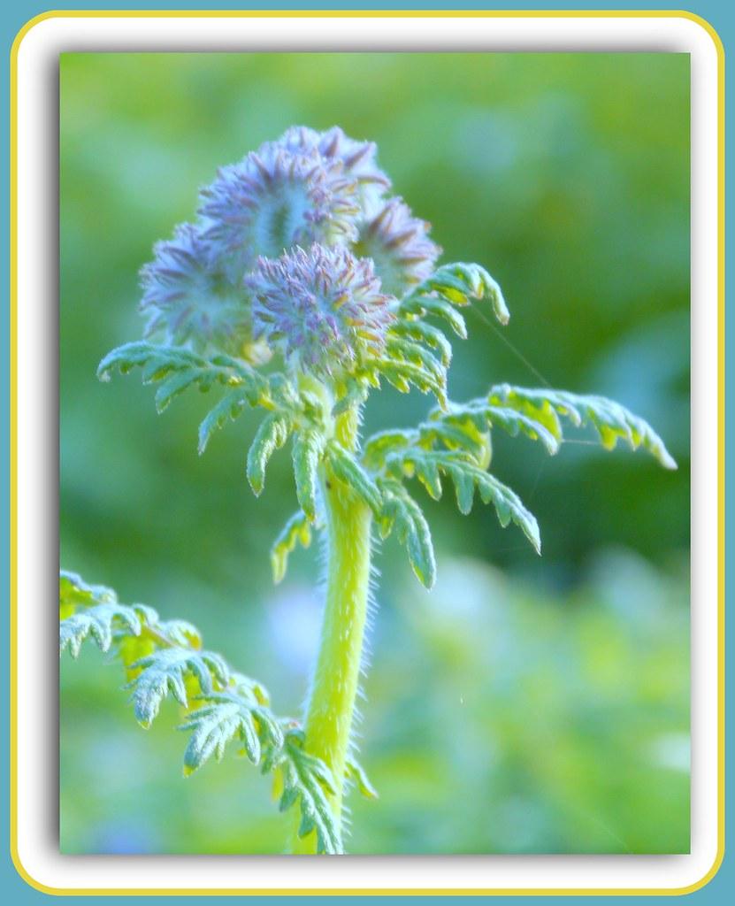 A WiLd FloWeR....Happy Quinta Flower ! /Wild Peppermint/