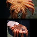 Flickr photo 'Sunflower seastar (Pycnopodia helianthoides)' by: rosie.perera.