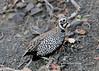 Montezuma quail by Stoil Ivanov
